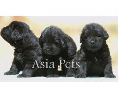 Newfoundland puppies price in Bangalore, Newfoundland puppies for sale in Bangalore