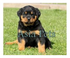 Rottweiler pups price in Ahmedabad, Rottweiler  pups for sale in Ahmedabad