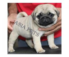 Pug puppies price in Bangalore, Pug puppies for sale in Bangalore