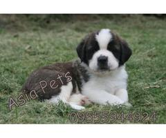 Saint bernard pups price in Ahmedabad, Saint bernard  pups for sale in Ahmedabad