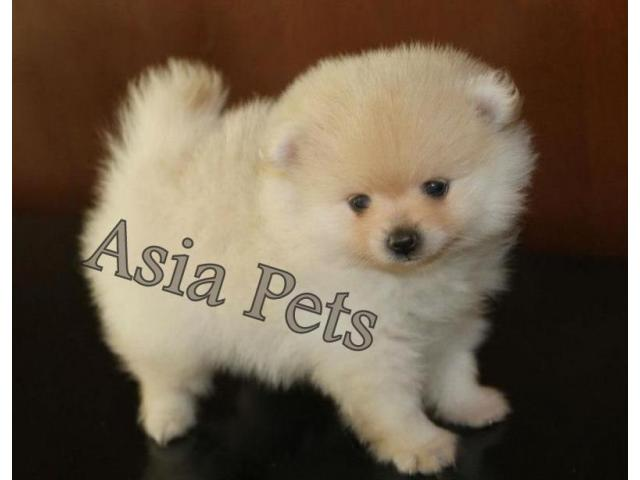 Pomeranian Puppies Price In Bangalore Pomeranian Puppies For Sale