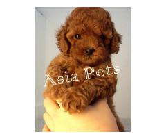 Poodle puppies price in Bangalore, Poodle puppies for sale in Bangalore