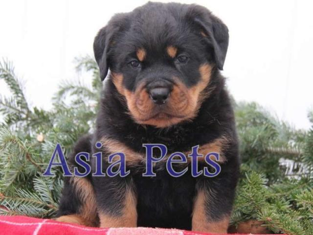 Rottweiler puppies price in Bangalore, Rottweiler puppies for sale in Bangalore