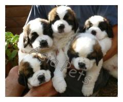 Saint bernard puppies price in Bangalore, Saint bernard puppies for sale in Bangalore