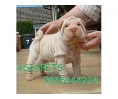 Shar pei puppies price in Bangalore, Shar pei puppies for sale in Bangalore