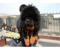 Tibetan mastiff puppies price in Bangalore, Tibetan mastiff puppies for sale in Bangalore