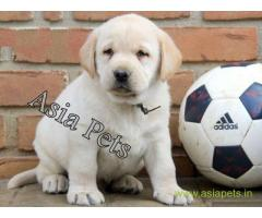 Labrador puppy price in navi mumbai, Labrador puppy for sale in navi mumbai