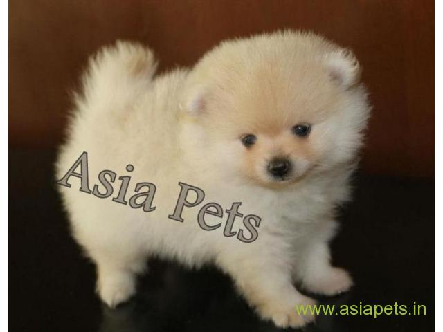 Pomeranian Puppy Price In Navi Mumbai Pomeranian Puppy For Sale In