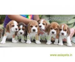 Beagle puppies price in navi mumbai, Beagle puppies for sale in navi mumbai