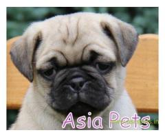 Pug puppies price in navi mumbai, Pug puppies for sale in navi mumbai