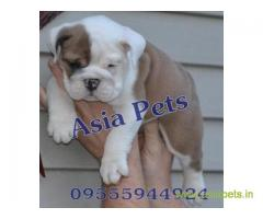 Bulldog pups price in Pune , Bulldog pups for sale in Pune