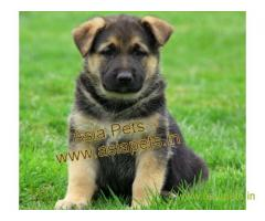 German Shepherd pups price in Pune , German Shepherd pups for sale in Pune