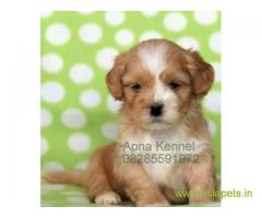 Lhasa apso pups price in Pune , Lhasa apso pups for sale in Pune