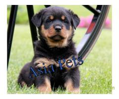 Rottweiler pups price in Pune , Rottweiler pups for sale in Pune