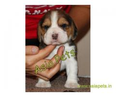 Beagle puppies price in secunderabad, Beagle puppies for sale in secunderabad