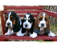 Basset hound puppies price in secunderabad, Basset hound puppies for sale in secunderabad