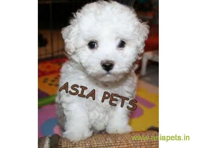 Bichon frise puppies price in secunderabad, Bichon frise puppies for sale in secunderabad