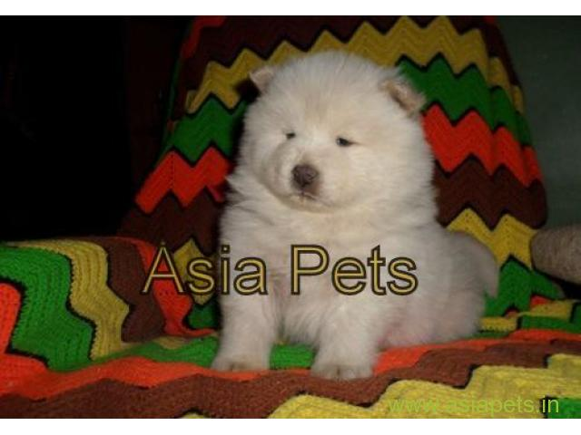 Chow chow puppies price in secunderabad, Chow chow puppies for sale in secunderabad