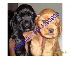 Cocker spaniel puppies price in secunderabad, Cocker spaniel puppies for sale in secunderabad