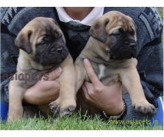 Bullmastiff pups price in Surat,  Bullmastiff pups for sale in Surat