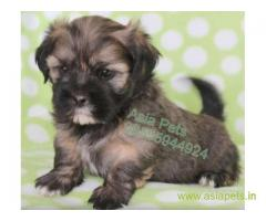 Lhasa apso puppies price in secunderabad, Lhasa apso puppies for sale in secunderabad