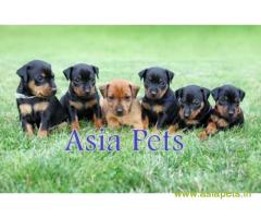 Miniature pinscher puppies price in secunderabad, Miniature pincher puppies for sale in secunderabad