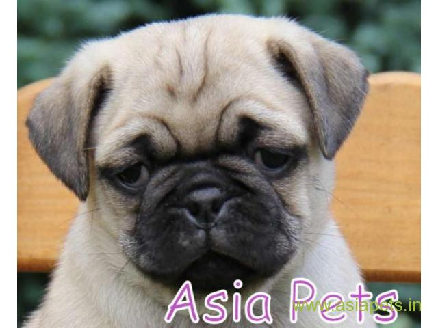 Pug puppies price in secunderabad, Pug puppies for sale in secunderabad