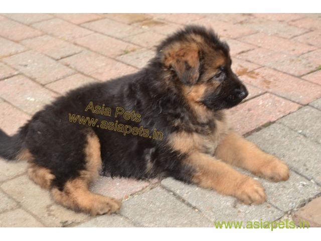 German Shepherd pups price in Surat,  German Shepherd pups for sale in Surat