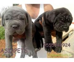 Neapolitan mastiff pups price in Surat,  Neapolitan mastiff pups for sale in Surat