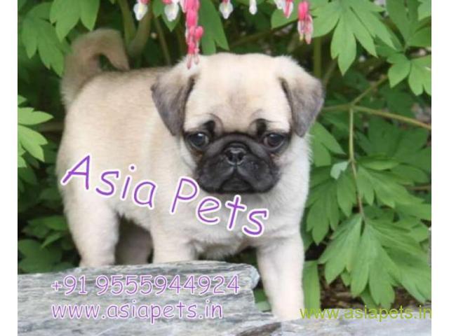Pug pups price in Surat,  Pug pups for sale in Surat