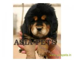 Tibetan mastiff puppy for sale in Agra at best price