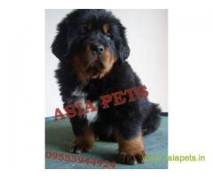 Tibetan mastiff puppy for sale in Ahmedabad at best price