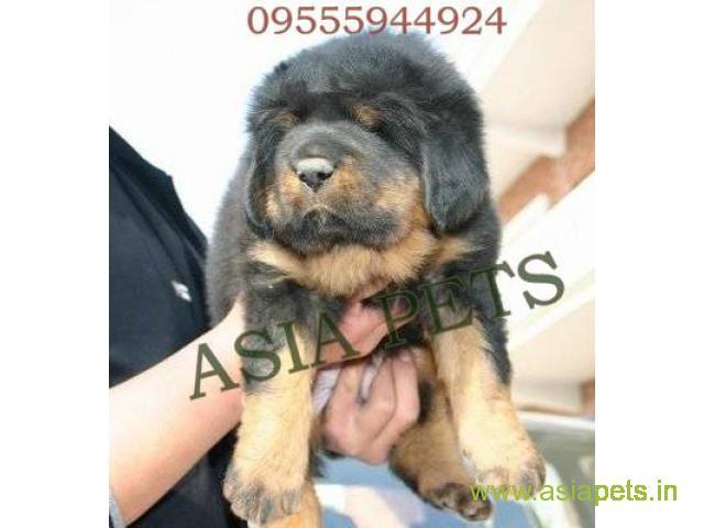 Tibetan mastiff puppy for sale in Bangalore at best price