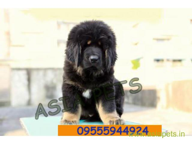 Tibetan mastiff puppy for sale in Bhopal at best price