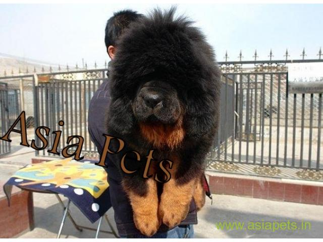 Tibetan mastiff puppy for sale in Guwahati at best price