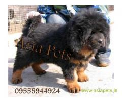 Tibetan mastiff puppy for sale in  Kanpurat best price