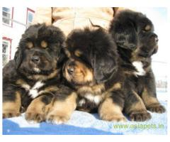 Tibetan mastiff puppy for sale in Mumbai at best price