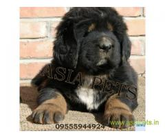 Tibetan mastiff puppies for sale in Agra, Best Price