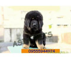 Tibetan mastiff puppies for sale in Faridabad, Best Price