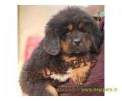 Tibetan mastiff puppies for sale in Indore, Best Price