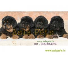 Tibetan mastiff puppies for sale in Kanpur, Best Price