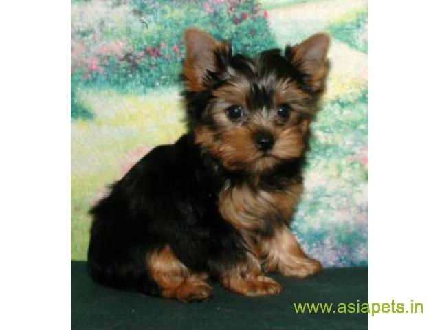 Yorkshire terrier puppy for sale in Bangalore at best price