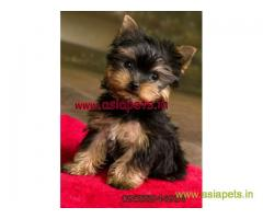 Yorkshire terrier puppy for sale in Bhopal at best price