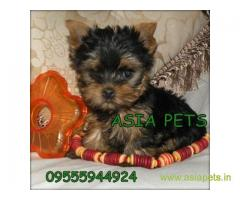 Yorkshire terrier puppy for sale in Coimbatore at best price