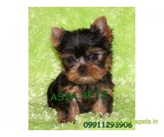 Yorkshire terrier puppy for sale in Gurgaon at best price