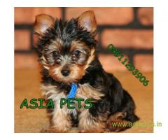 Yorkshire terrier puppy for sale in  vizag at best price