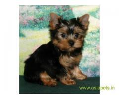 Yorkshire terrier puppy for sale in vedodara at best price