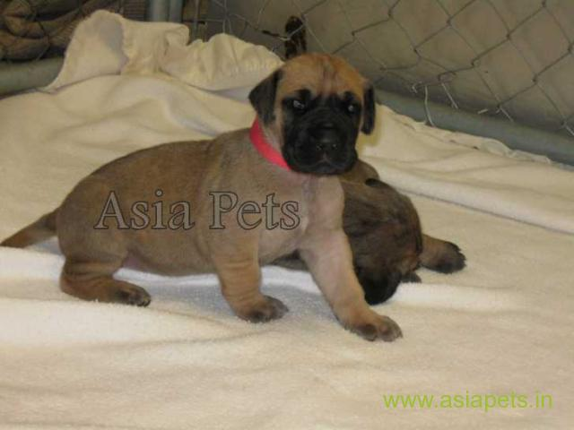 Great Dane Puppy For sale In Bangalore Best Price