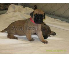 Great Dane Puppy For sale In Bhopal Best Price
