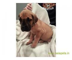 Great Dane Puppy For sale In Guwahati Best Price